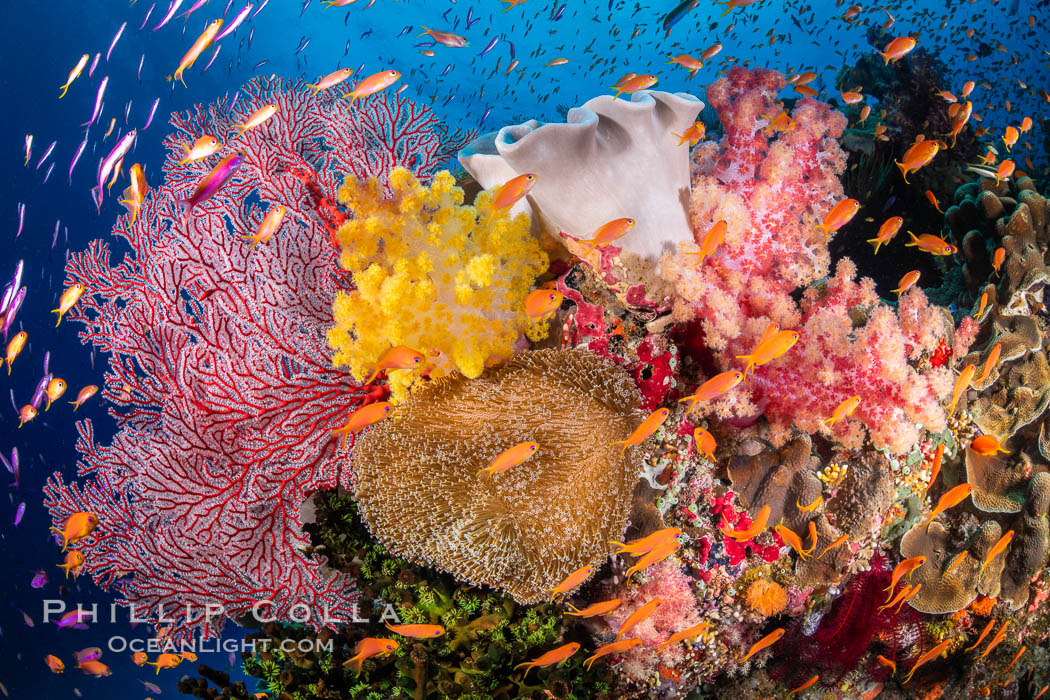 Brilliantlly colorful coral reef, with swarms of anthias fishes and soft corals, Fiji. Bligh Waters, Dendronephthya, Pseudanthias, natural history stock photograph, photo id 34708
