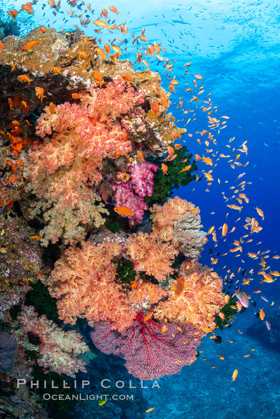 Brilliantlly colorful coral reef, with swarms of anthias fishes and soft corals, Fiji. Bligh Waters, Dendronephthya, Pseudanthias, natural history stock photograph, photo id 34720