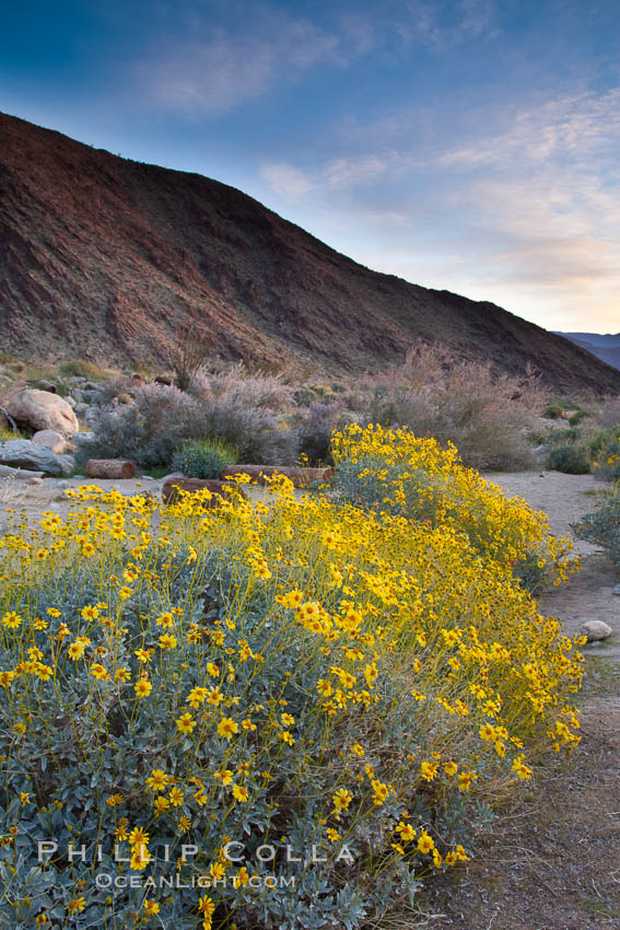 Brittlebush blooms in spring, Palm Canyon, Anza Borrego Desert State Park. Anza-Borrego Desert State Park, Borrego Springs, California, USA, Encelia farinosa, natural history stock photograph, photo id 24314