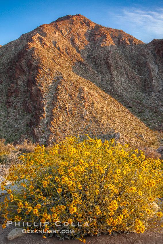 Brittlebush blooms in spring, Palm Canyon, Anza Borrego Desert State Park, Encelia farinosa, Anza-Borrego Desert State Park