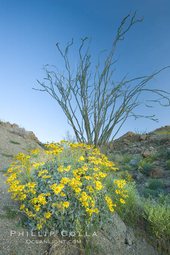 Brittlebush, ocotillo and various cacti and wildflowers color the sides of Glorietta Canyon.  Heavy winter rains led to a historic springtime bloom in 2005, carpeting the entire desert in vegetation and color for months. Anza-Borrego Desert State Park, Anza Borrego, California, USA, Encelia farinosa, Fouquieria splendens, natural history stock photograph, photo id 10896