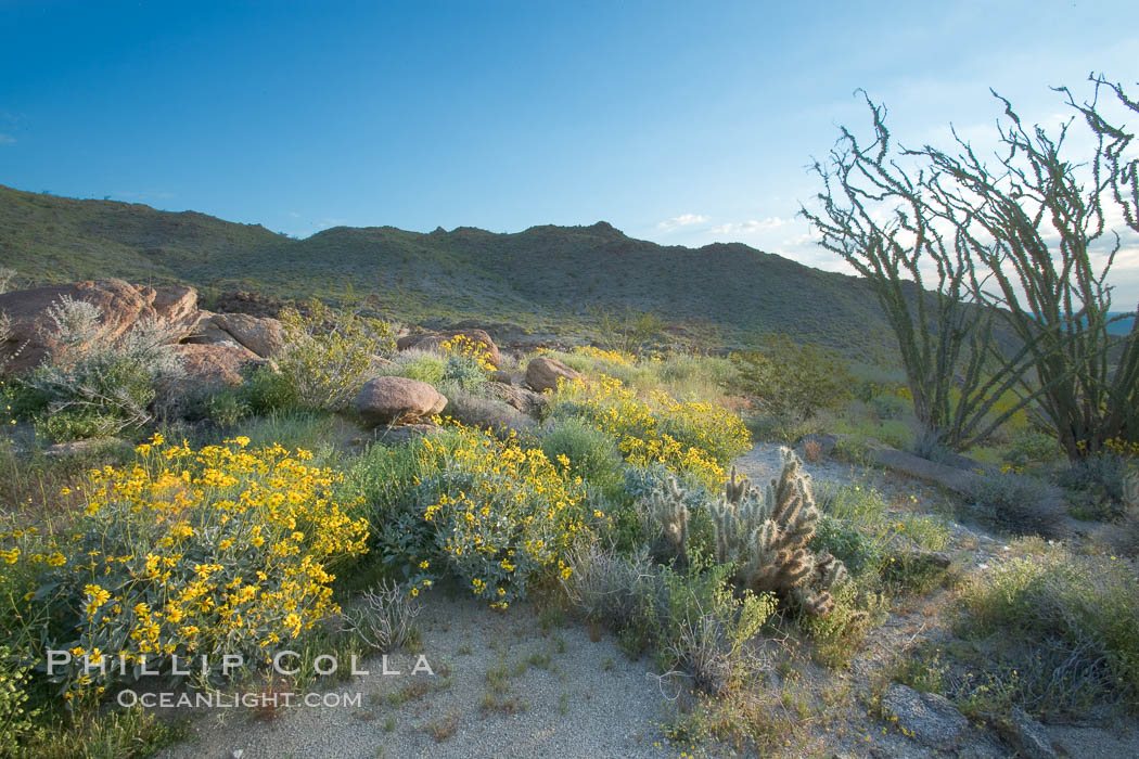 Brittlebush, ocotillo and various cacti and wildflowers color the sides of Glorietta Canyon.  Heavy winter rains led to a historic springtime bloom in 2005, carpeting the entire desert in vegetation and color for months., Encelia farinosa, Fouquieria splendens,  Copyright Phillip Colla, image #10895, all rights reserved worldwide.