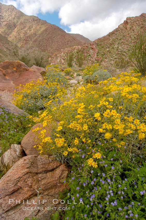 Brittlebush (yellow) and wild heliotrope (blue) bloom in spring, Palm Canyon. Anza-Borrego Desert State Park, Anza Borrego, California, USA, Encelia farinosa, Phacelia distans, natural history stock photograph, photo id 10474