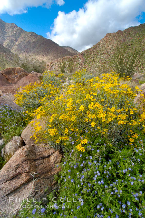 Brittlebush (yellow) and wild heliotrope (blue) bloom in spring, Palm Canyon., Encelia farinosa,  Copyright Phillip Colla, image #10457, all rights reserved worldwide.