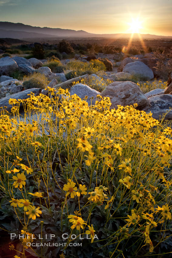 Brittlebush at sunrise, dawn, springtime bloom, Palm Canyon, Anza Borrego Desert State Park, Encelia farinosa, Anza-Borrego Desert State Park