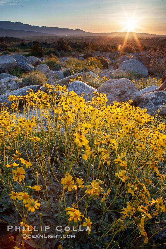 Brittlebush at sunrise, dawn, springtime bloom, Palm Canyon, Anza Borrego Desert State Park, Encelia farinosa, Anza-Borrego Desert State Park