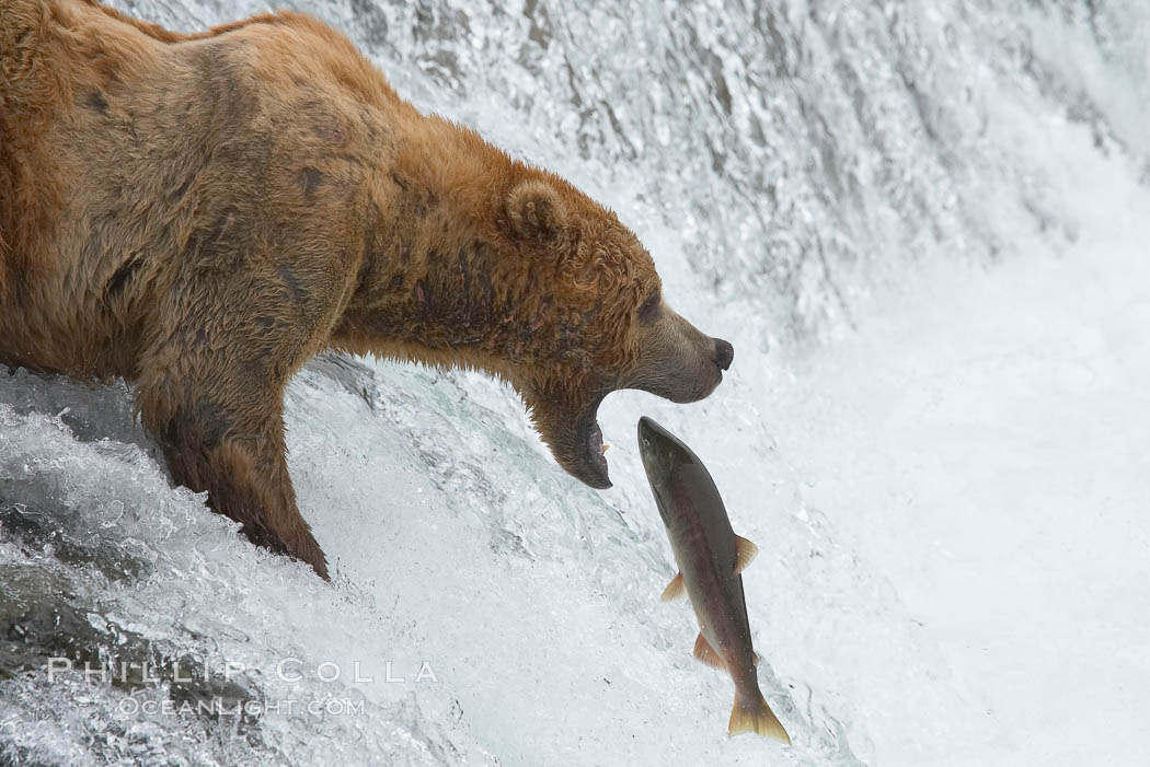 Brown bear photo stock photograph of a brown bear ursus for Bear catching fish