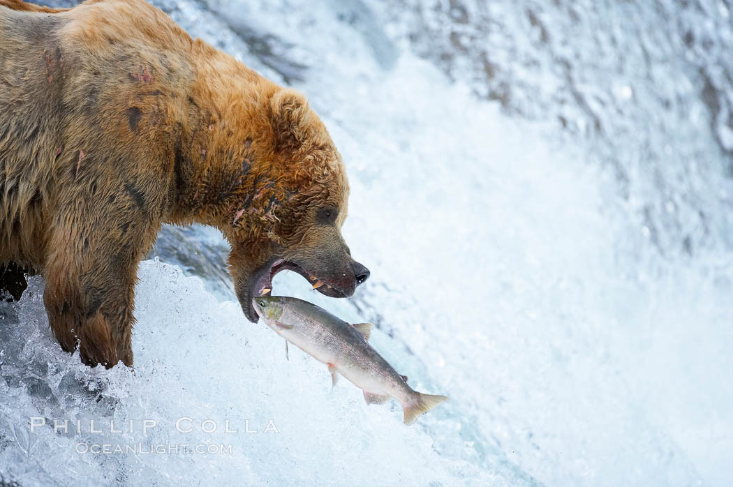 Brown bear catches a silver salmon at Brooks Falls, Brooks River, Katmai National Park, Alaska