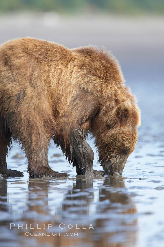 Coastal brown bear forages for razor clams in sand flats at extreme low tide.  Grizzly bear. Lake Clark National Park, Alaska, USA, Ursus arctos, natural history stock photograph, photo id 19254