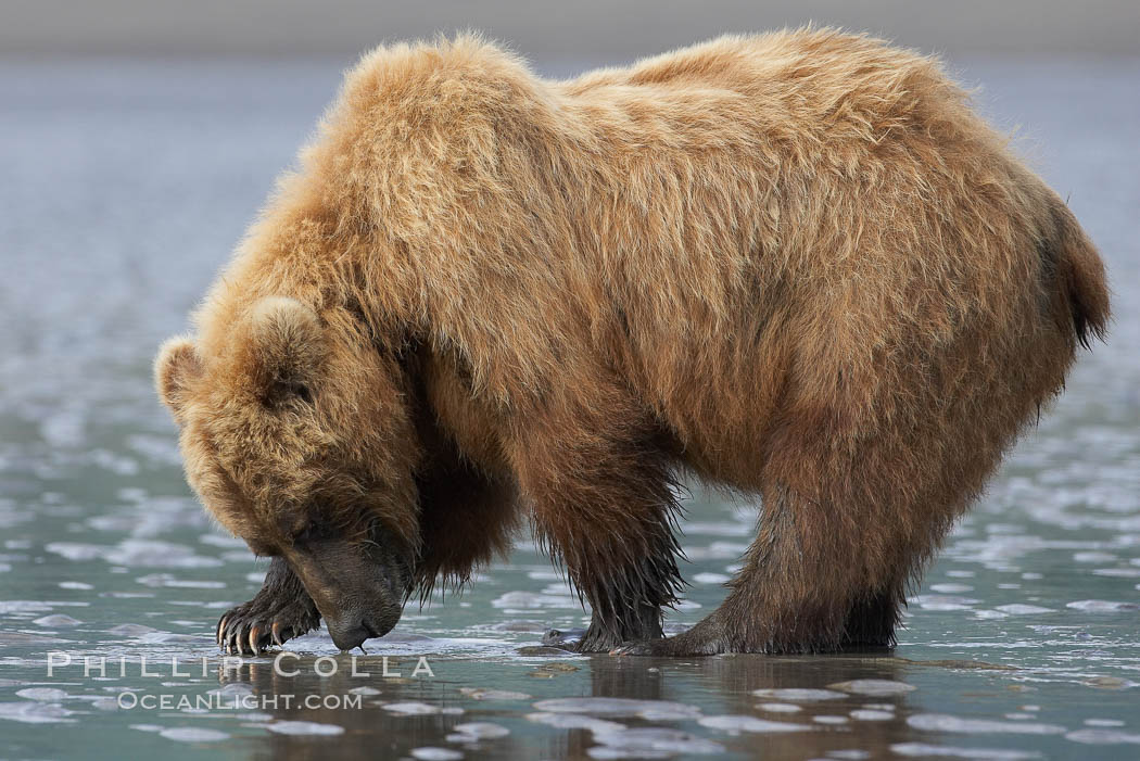 Coastal brown bear forages for razor clams in sand flats at extreme low tide.  Grizzly bear., Ursus arctos,  Copyright Phillip Colla, image #19140, all rights reserved worldwide.