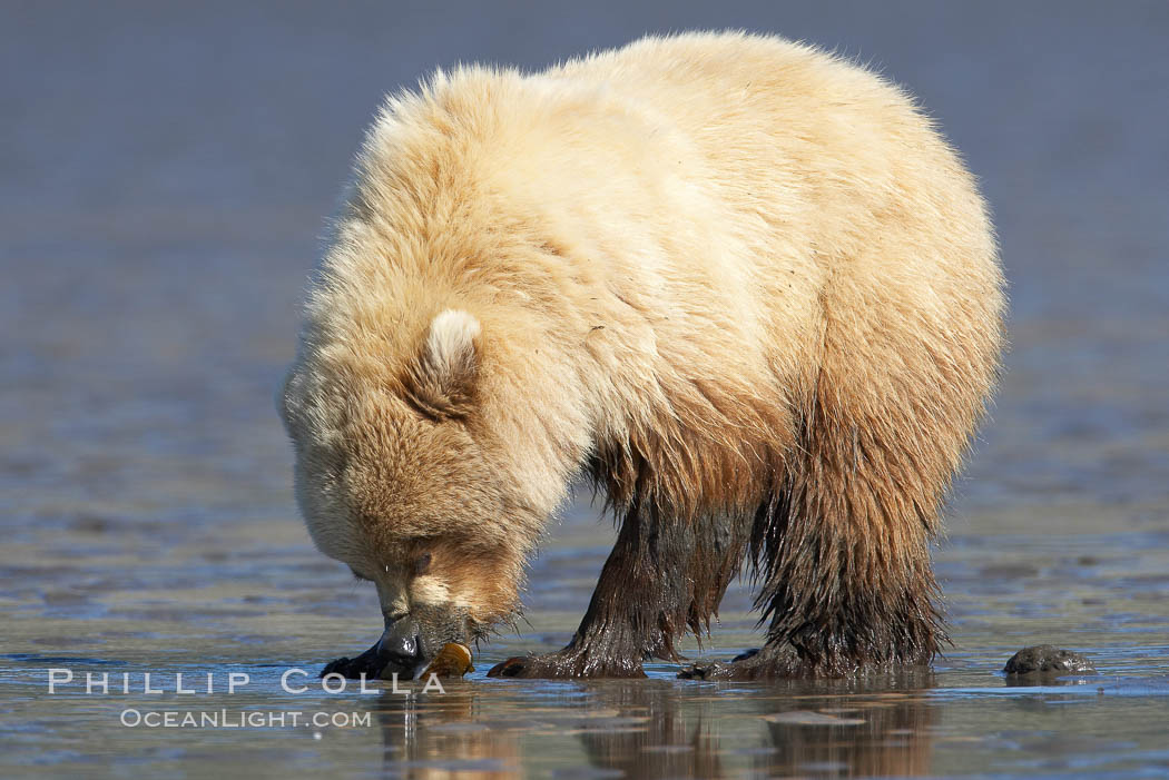 Coastal brown bear forages for razor clams on mud flats at extreme low tide., Ursus arctos,  Copyright Phillip Colla, image #19224, all rights reserved worldwide.