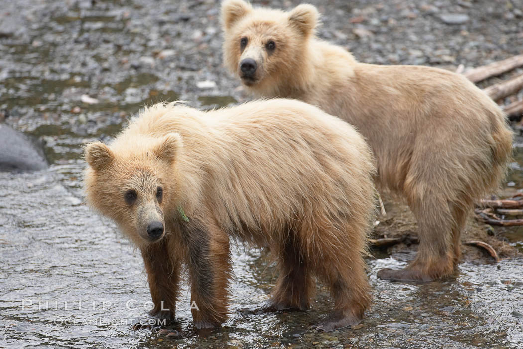 Brown bear spring cubs, a few months old. Brooks River, Katmai National Park, Alaska, USA, Ursus arctos, natural history stock photograph, photo id 17111