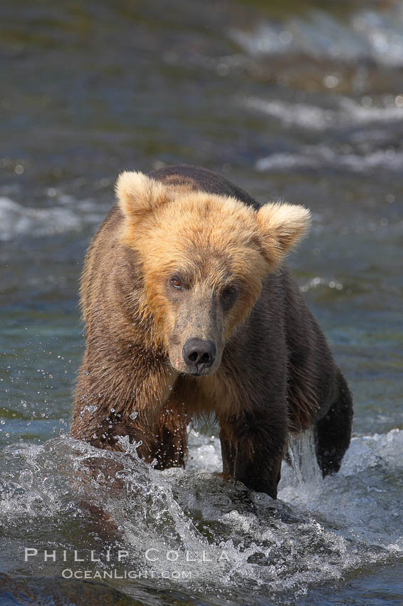 Brown bear cub crosses the Brooks River. Brooks River, Katmai National Park, Alaska, USA, Ursus arctos, natural history stock photograph, photo id 17045