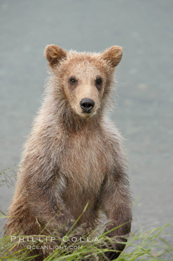 Brown bear spring cub, just a few months old. Brooks River, Katmai National Park, Alaska, USA, Ursus arctos, natural history stock photograph, photo id 17053