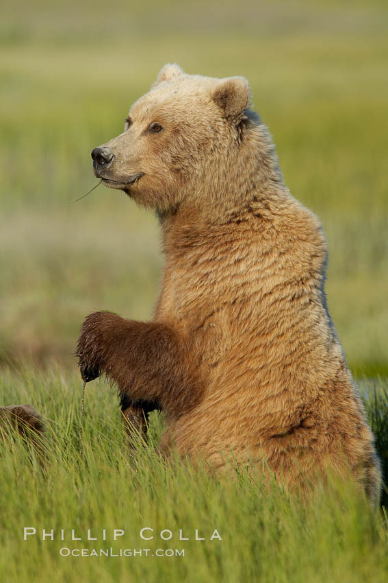 A brown bear mother (sow) stands in tall sedge grass to look for other approaching bears that may be a threat to her cubs. Lake Clark National Park, Alaska, USA, Ursus arctos, natural history stock photograph, photo id 19258