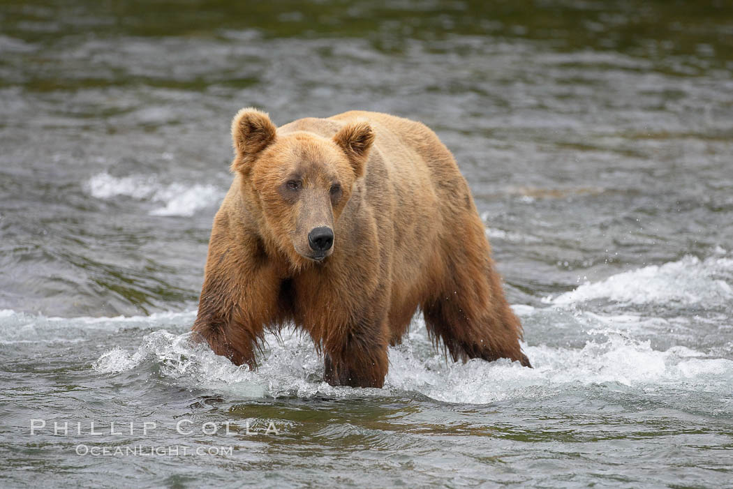 Brown bear (grizzly bear). Brooks River, Katmai National Park, Alaska, USA, Ursus arctos, natural history stock photograph, photo id 17044