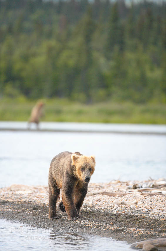 Brown bear (grizzly bear). Brooks River, Katmai National Park, Alaska, USA, Ursus arctos, natural history stock photograph, photo id 17064