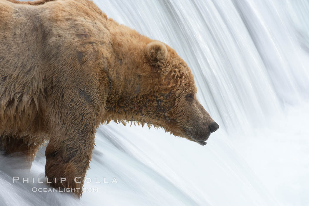 Brown bear waits for salmon at Brooks Falls. Blurring of the water is caused by a long shutter speed. Brooks River. Brooks River, Katmai National Park, Alaska, USA, Ursus arctos, natural history stock photograph, photo id 17047