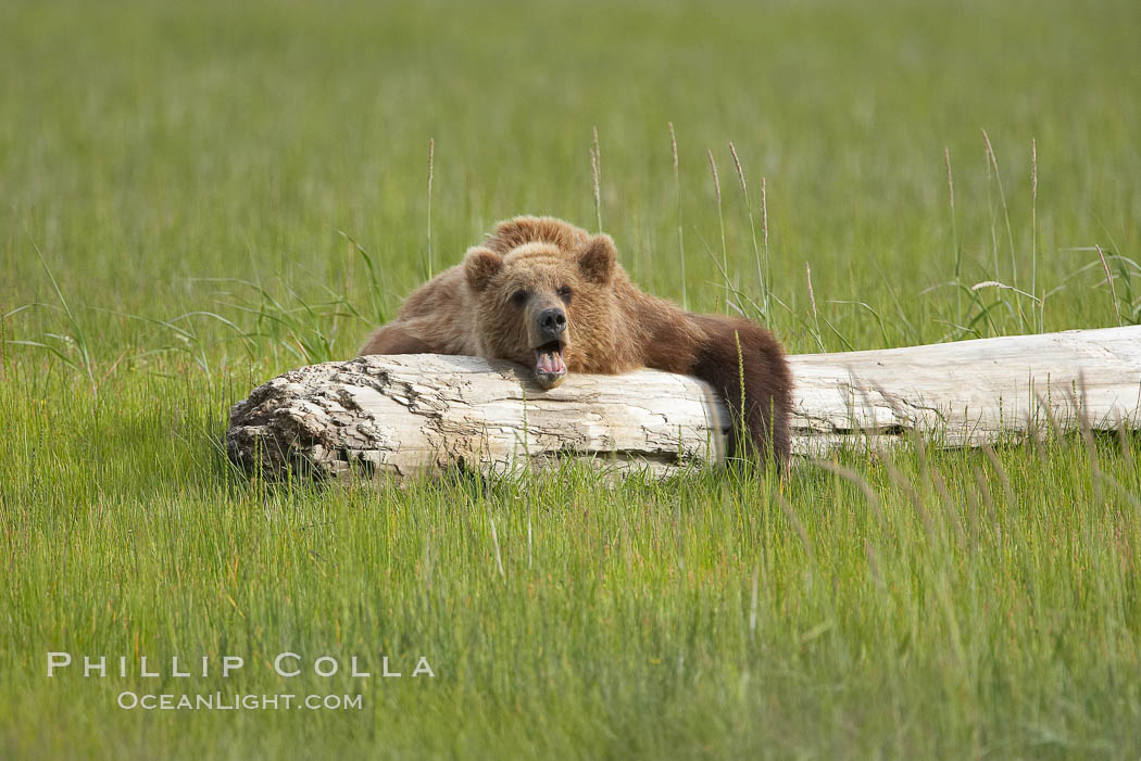 Lazy brown bear naps on a log., Ursus arctos,  Copyright Phillip Colla, image #19251, all rights reserved worldwide.