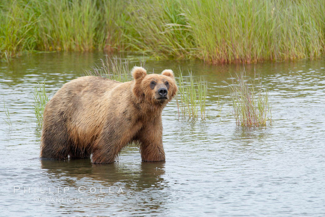 Brown bear walks through the marshes that skirt the Brooks River. Brooks River, Katmai National Park, Alaska, USA, Ursus arctos, natural history stock photograph, photo id 17061