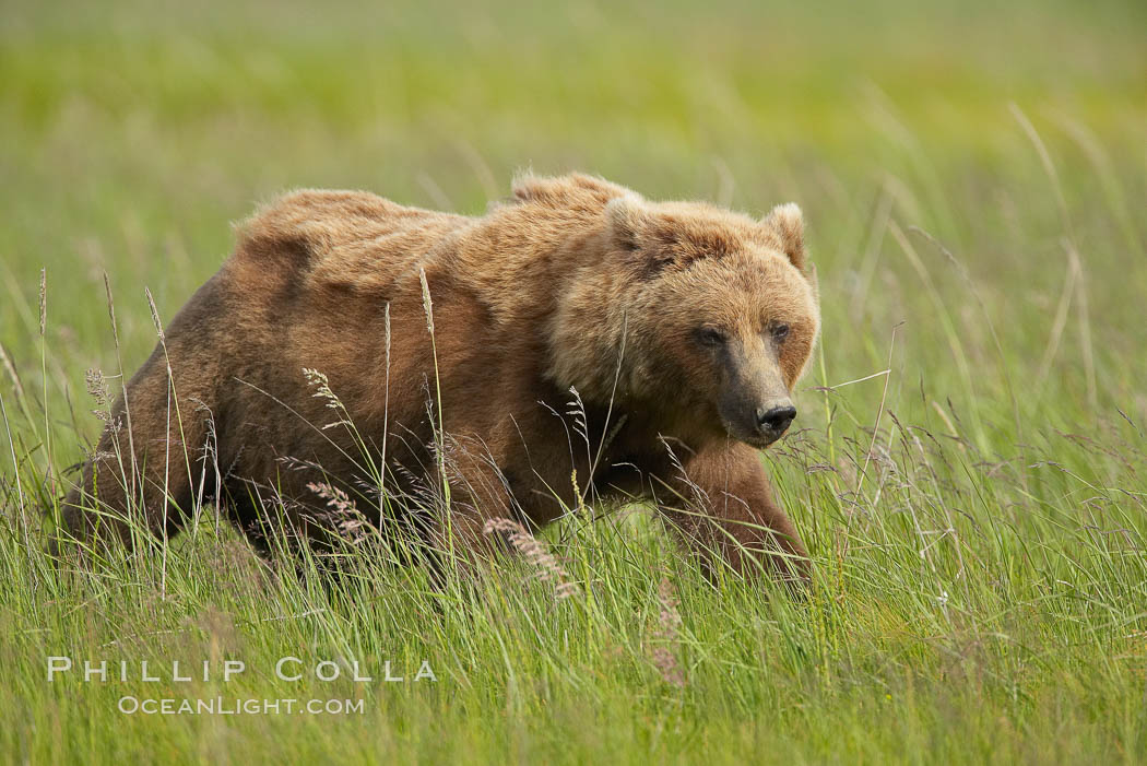 Coastal brown bear in meadow.  The tall sedge grasses in this coastal meadow are a food source for brown bears, who may eat 30 lbs of it each day during summer while waiting for their preferred food, salmon, to arrive in the nearby rivers. Lake Clark National Park, Alaska, USA, Ursus arctos, natural history stock photograph, photo id 19138