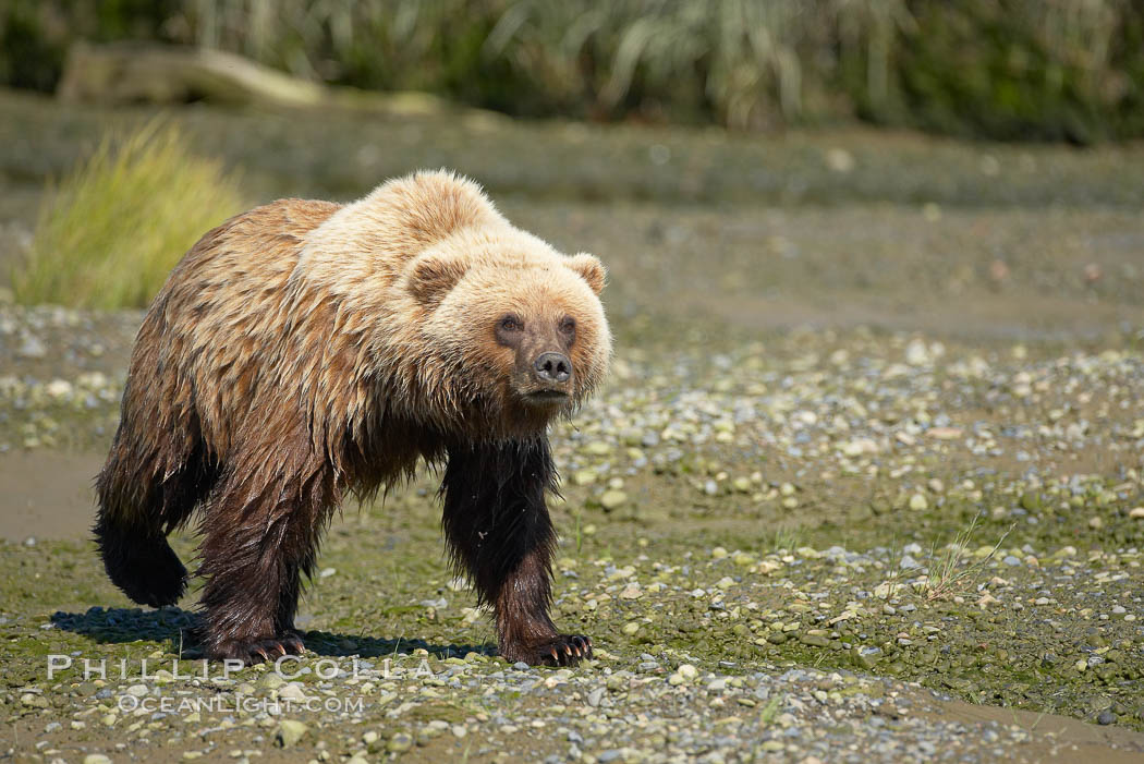 Coastal brown bear walks in Silver Salmon Creek. Lake Clark National Park, Alaska, USA, Ursus arctos, natural history stock photograph, photo id 19146