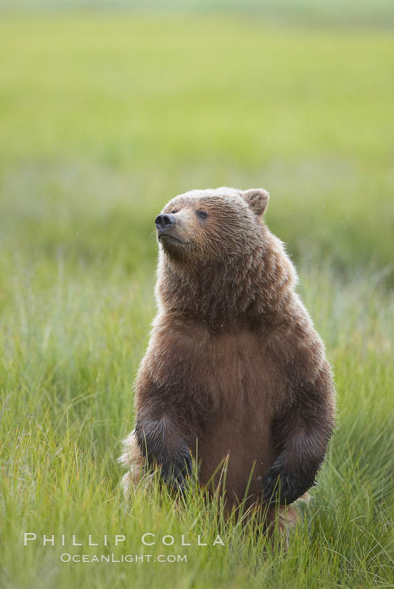 Young brown bear stands in tall sedge grass to get a better view of other approaching bears. Lake Clark National Park, Alaska, USA, Ursus arctos, natural history stock photograph, photo id 19143