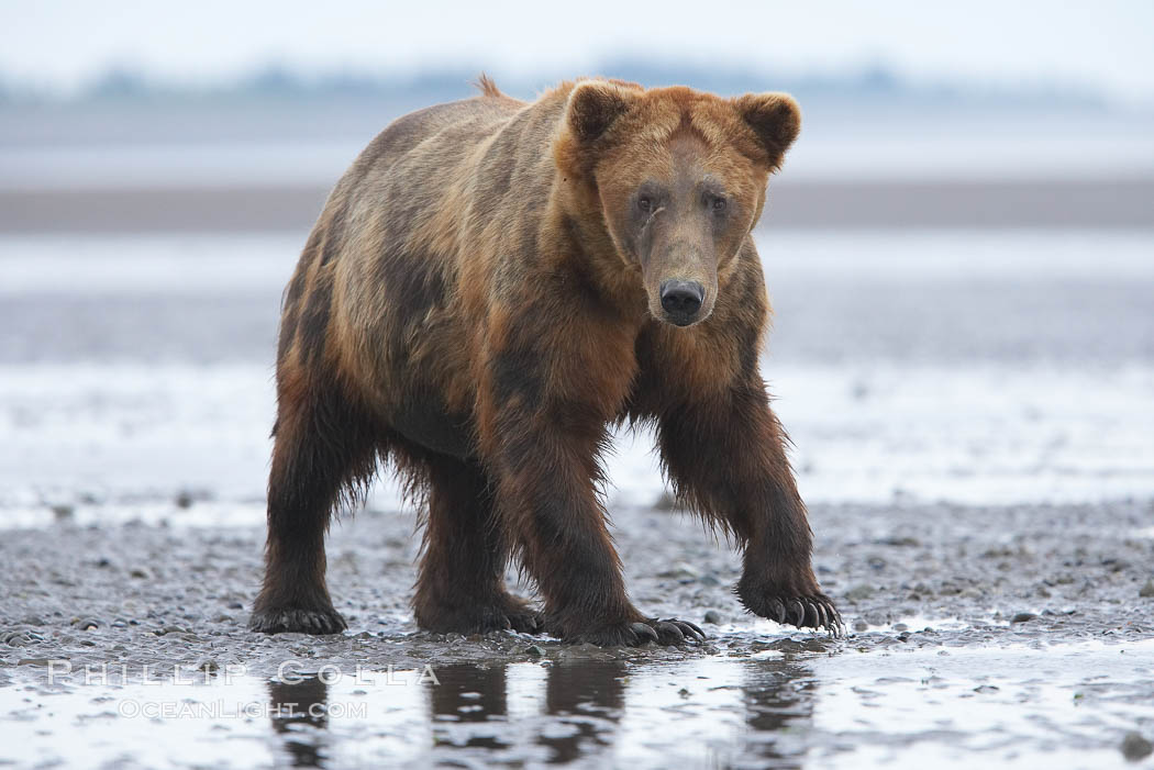 Mature male coastal brown bear boar waits on the tide flats at the mouth of Silver Salmon Creek for salmon to arrive.  Grizzly bear., Ursus arctos,  Copyright Phillip Colla, image #19149, all rights reserved worldwide.