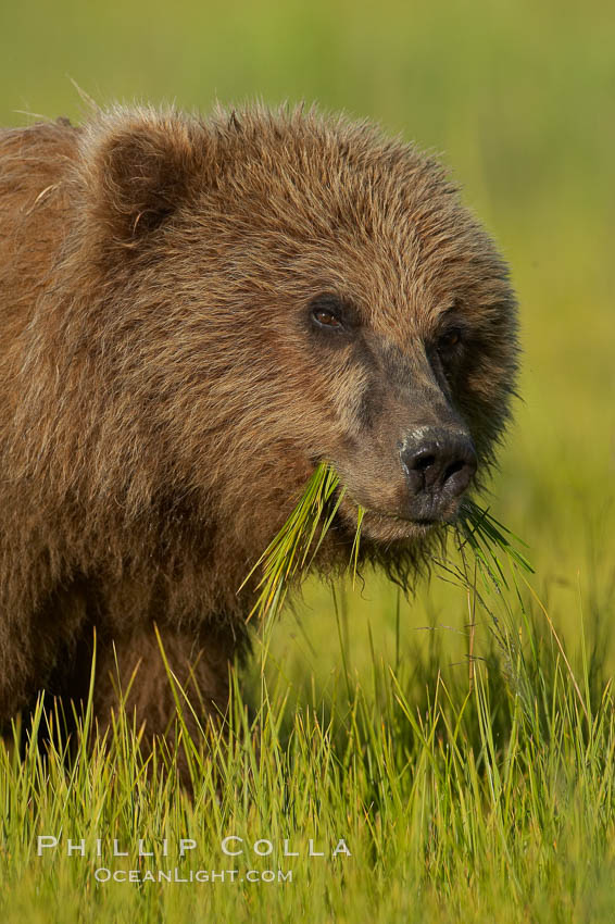 Young brown bear grazes in tall sedge grass.  Brown bears can consume 30 lbs of sedge grass daily, waiting weeks until spawning salmon fill the rivers. Lake Clark National Park, Alaska, USA, Ursus arctos, natural history stock photograph, photo id 19156
