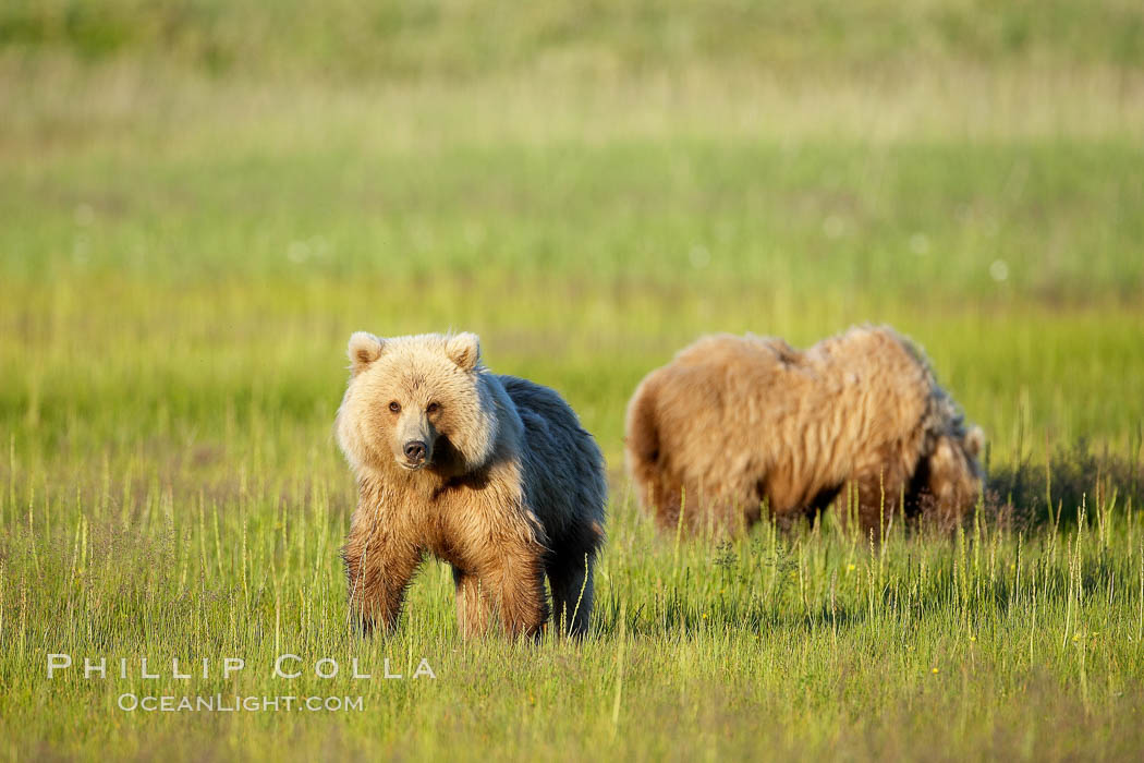 Juvenile brown bears near Johnson River.  Before reaching adulthood and competition for mating, it is common for juvenile brown bears to seek one another for companionship after leaving the security of their mothers. Johnson River, Lake Clark National Park, Alaska, USA, Ursus arctos, natural history stock photograph, photo id 19171
