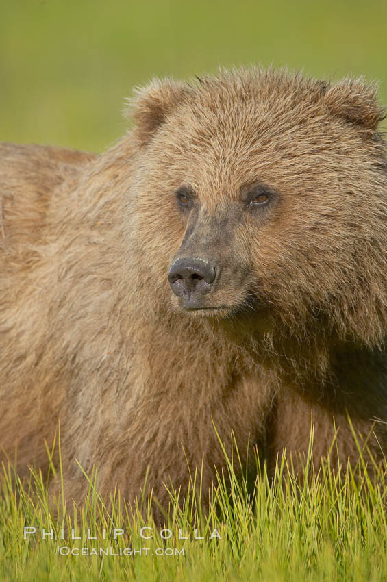 Portrait of a young brown bear, pausing while grazing in tall sedge grass.  Brown bears can consume 30 lbs of sedge grass daily, waiting weeks until spawning salmon fill the rivers., Ursus arctos,  Copyright Phillip Colla, image #19157, all rights reserved worldwide.