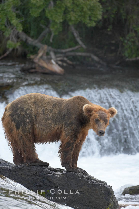 Brown bear (grizzly bear). Brooks River, Katmai National Park, Alaska, USA, Ursus arctos, natural history stock photograph, photo id 17149