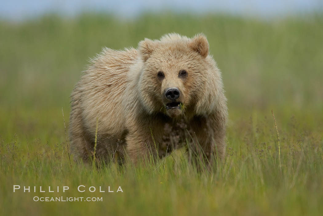 Coastal brown bear in sedge grass meadow. Lake Clark National Park, Alaska, USA, Ursus arctos, natural history stock photograph, photo id 19225