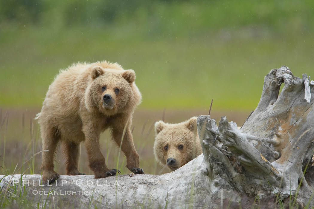 Brown bear cubs.  These cubs are one and a half years old and have yet to leave their mother.  They will be on their own and have to fend for themselves next summer. Lake Clark National Park, Alaska, USA, Ursus arctos, natural history stock photograph, photo id 19150