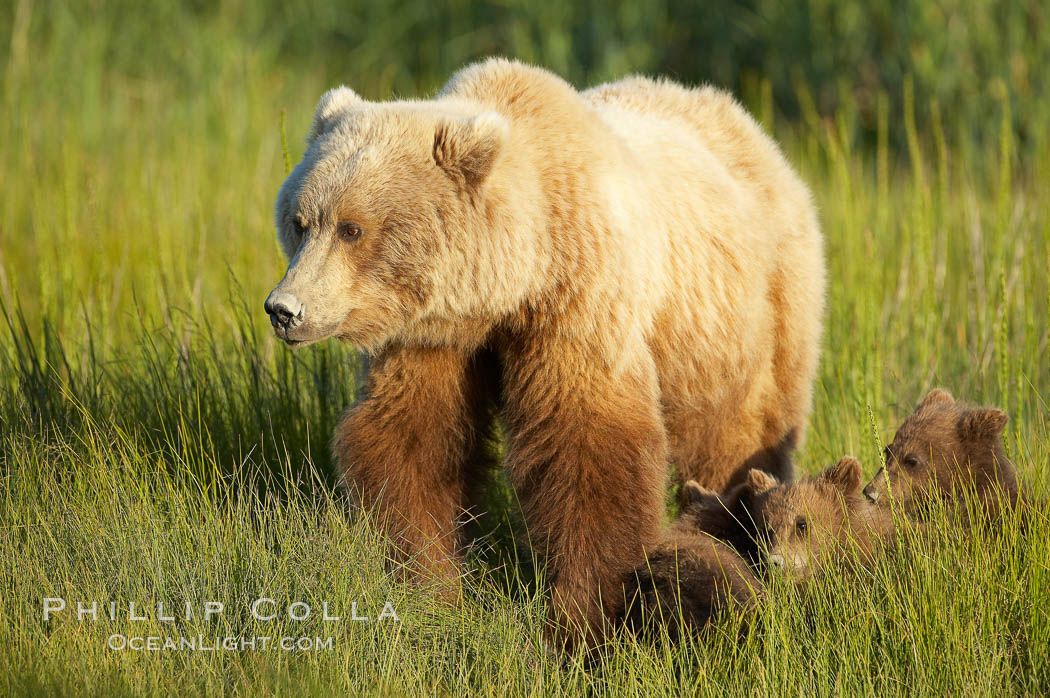 Brown bear female sow in sedge meadow, with her three spring cubs hidden by the deep grass next to her.  These cubs were born earlier in the spring and will remain with their mother for almost two years, relying on her completely for their survival. Lake Clark National Park, Alaska, USA, Ursus arctos, natural history stock photograph, photo id 19154