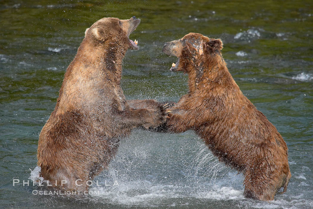 Grizzly Bears Fighting, (c) Phillip Colla / Oceanlight.com