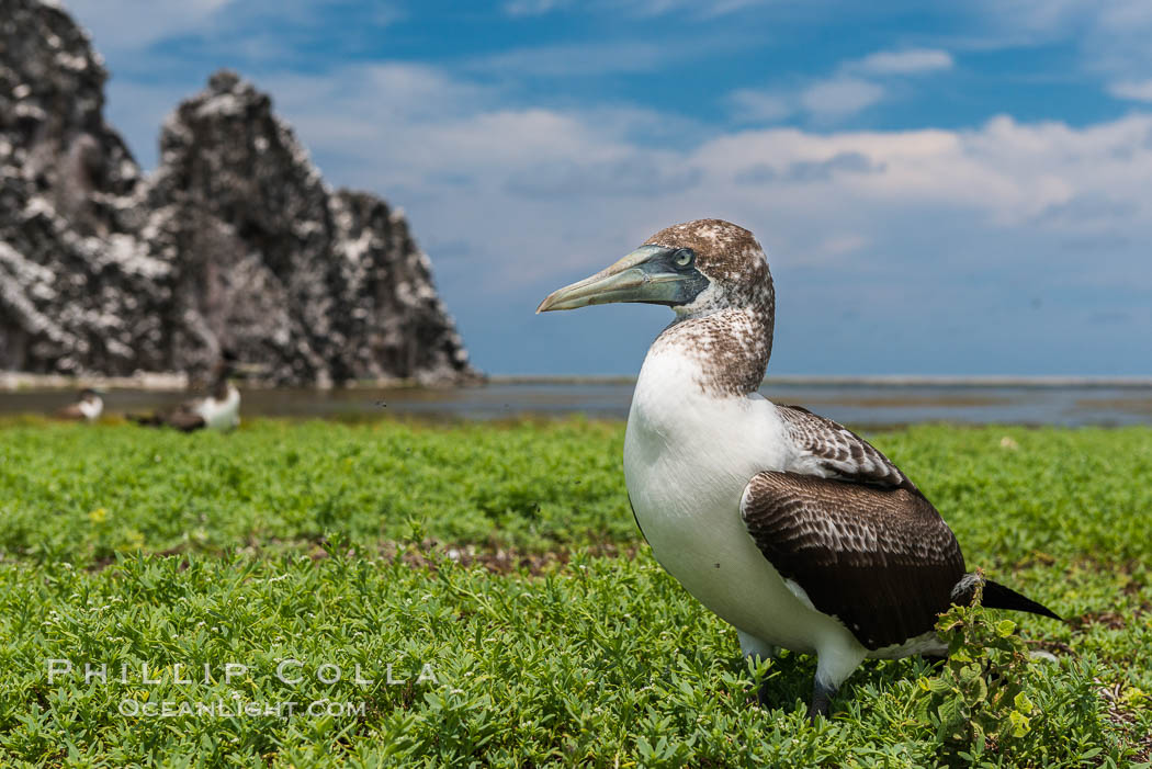 Brown booby, Clipperton island. Clipperton Island, France, Sula leucogaster, natural history stock photograph, photo id 33091