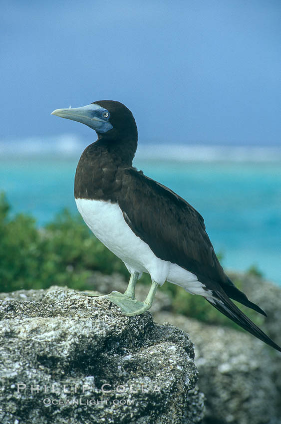 Brown booby. Rose Atoll National Wildlife Sanctuary, American Samoa, USA, Sula leucogaster, natural history stock photograph, photo id 00881