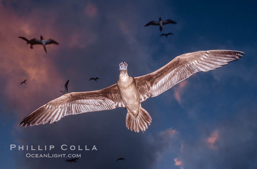 Brown booby flying over Rose Atoll at sunset, with dark colorful storm clouds and other birds in the background, Sula leucogaster, Rose Atoll National Wildlife Sanctuary