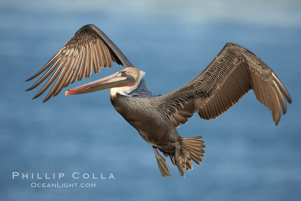Brown pelican in flight.  The wingspan of the brown pelican is over 7 feet wide. The California race of the brown pelican holds endangered species status.  In winter months, breeding adults assume a dramatic plumage., Pelecanus occidentalis, Pelecanus occidentalis californicus,  Copyright Phillip Colla, image #22142, all rights reserved worldwide.