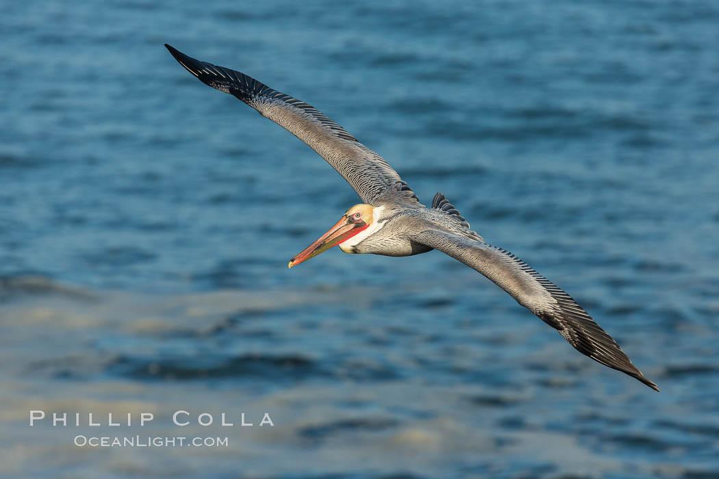 Brown pelican in flight, over the ocean, Pelecanus occidentalis, Pelecanus occidentalis californicus, La Jolla, California