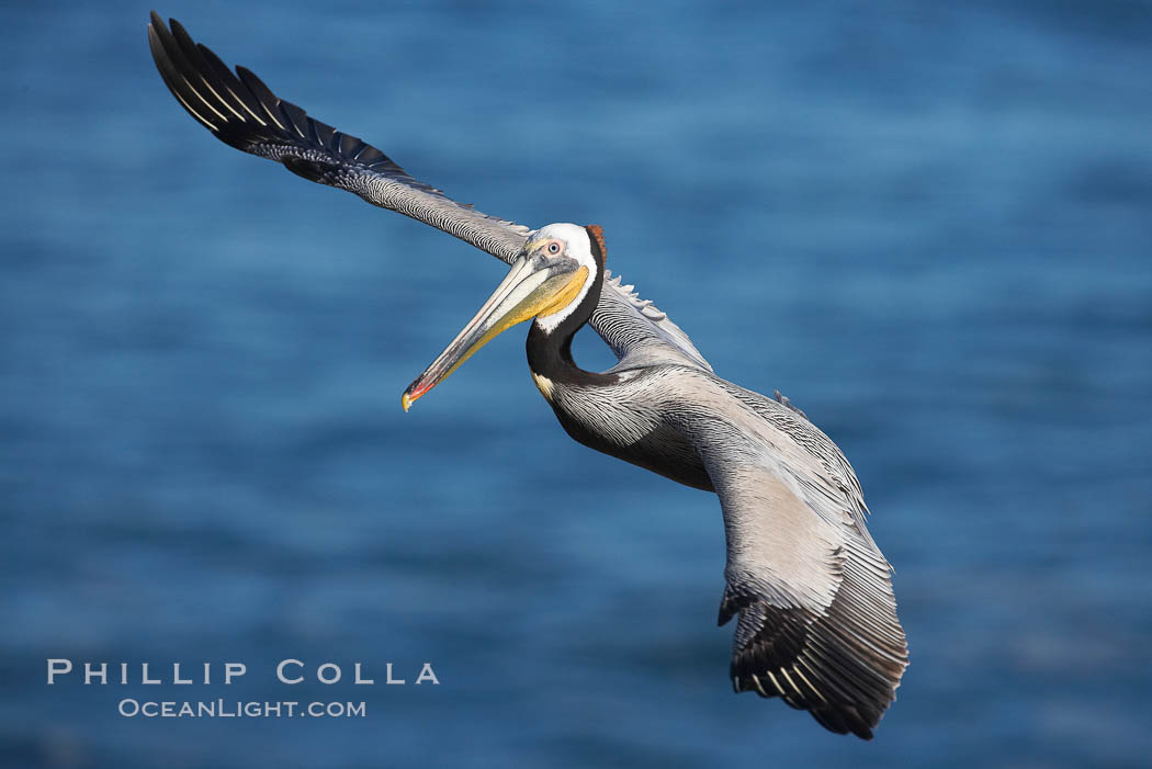 Brown pelican in flight.  The wingspan of the brown pelican is over 7 feet wide. The California race of the brown pelican holds endangered species status.  In winter months, breeding adults assume a dramatic plumage., Pelecanus occidentalis, Pelecanus occidentalis californicus,  Copyright Phillip Colla, image #15371, all rights reserved worldwide.