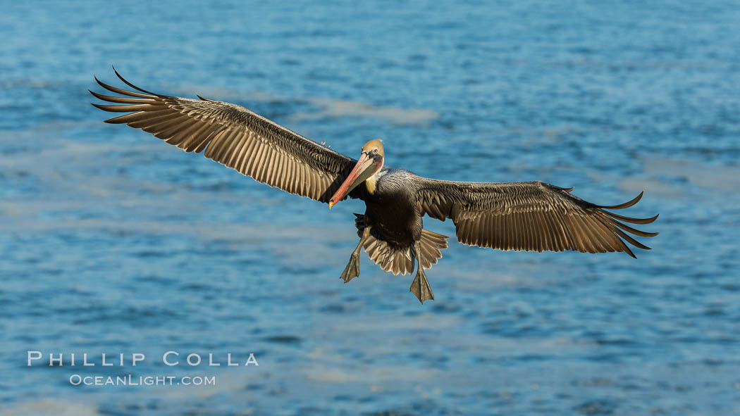 Brown pelican in flight, over the ocean, Pelecanus occidentalis, Pelecanus occidentalis californicus, La Jolla, California