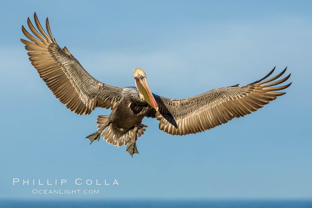 Brown pelican in flight, spreading wings wide to slow in anticipation of landing on seacliffs, Pelecanus occidentalis, Pelecanus occidentalis californicus, La Jolla, California