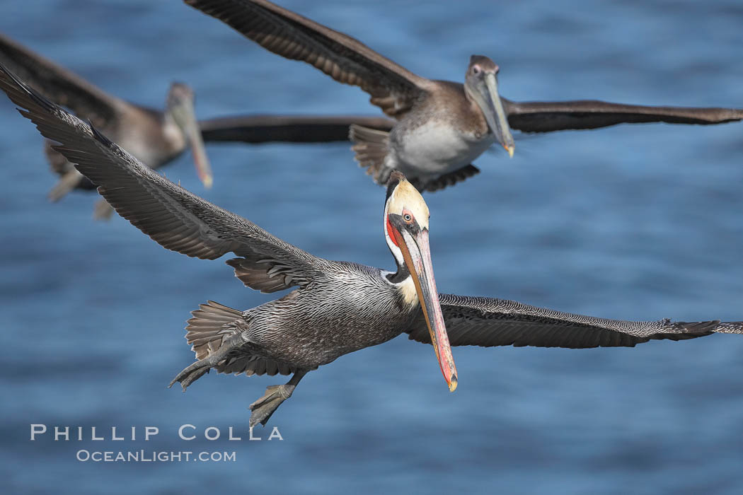 California brown pelicans fly in formation., Pelecanus occidentalis, Pelecanus occidentalis californicus,  Copyright Phillip Colla, image #18232, all rights reserved worldwide.