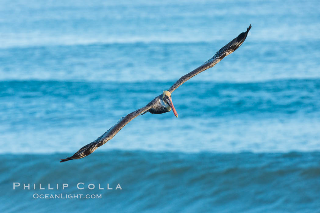 Brown pelican flying over waves and the surf, Pelecanus occidentalis, Pelecanus occidentalis californicus, La Jolla, California