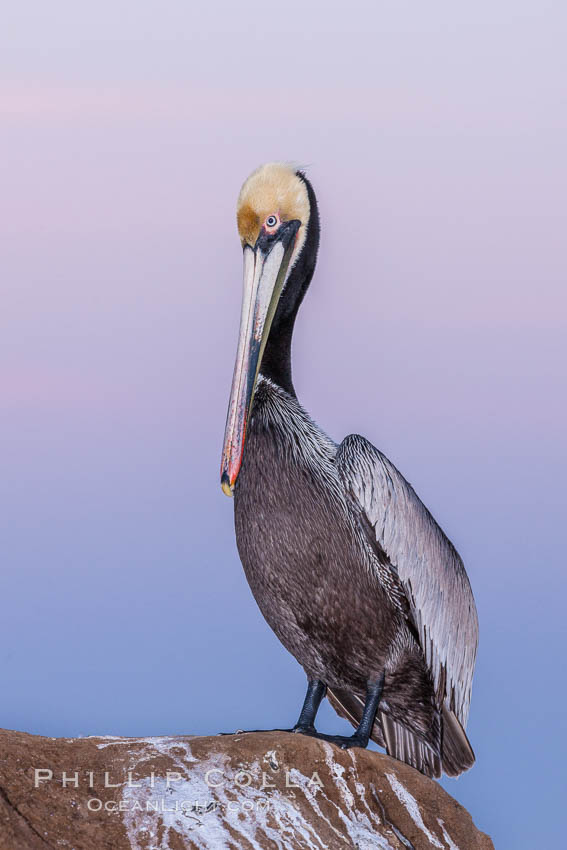 California brown pelican, portrait in pink-purple predawn light, rests on sandstone seabluff.  The characteristic mating plumage of the California race of brown pelican is shown, with red gular throat pouch and dark brown hindneck colors, Pelecanus occidentalis, Pelecanus occidentalis californicus, La Jolla