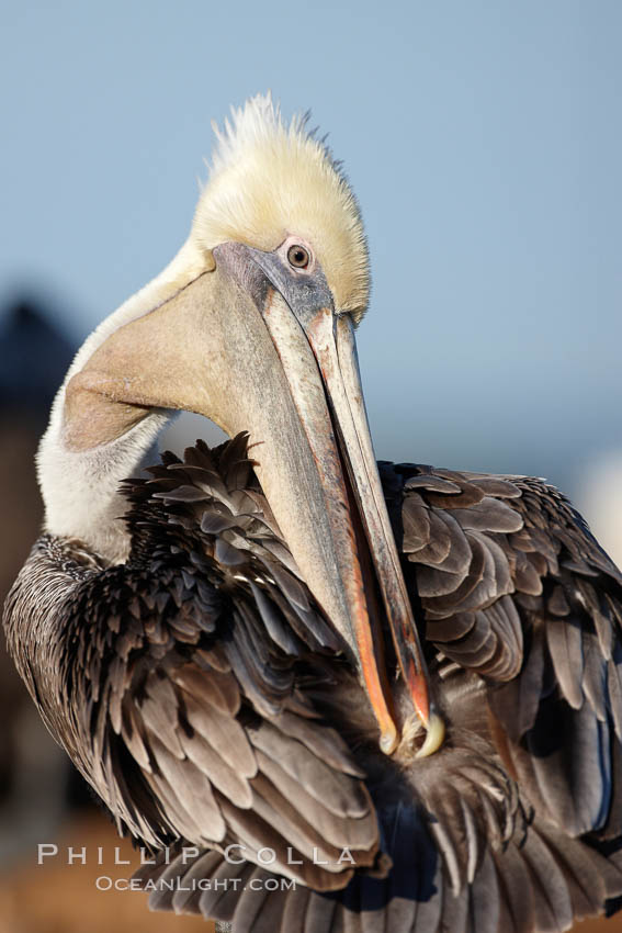 A brown pelican preening, reaching with its beak to the uropygial gland (preen gland) near the base of its tail.  Preen oil from the uropygial gland is spread by the pelican's beak and back of its head to all other feathers on the pelican, helping to keep them water resistant and dry., Pelecanus occidentalis, Pelecanus occidentalis californicus,  Copyright Phillip Colla, image #22144, all rights reserved worldwide.