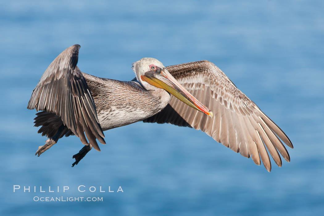 California brown pelican in flight, Pelecanus occidentalis, Pelecanus occidentalis californicus, La Jolla