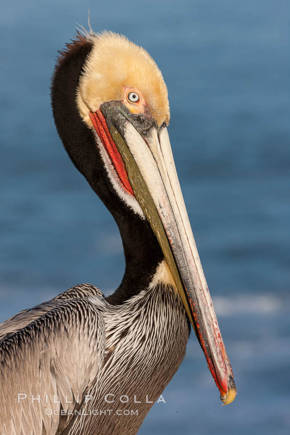 Portrait of California brown pelican, with the characteristic winter mating plumage shown: red throat, yellow head and dark brown hindneck. La Jolla, California, USA, Pelecanus occidentalis, Pelecanus occidentalis californicus, natural history stock photograph, photo id 23647